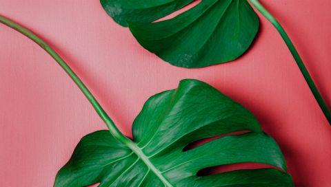 Monstera: Alles, was Sie wissen müssen, um Ihre Lieblings-Zimmerpflanze zu pflegen (und ihr ein langes Leben zu schenken)